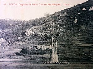 Pi de les Tres Branques - Pi de les Tres Branques, already dead, with the 1907 wall in place