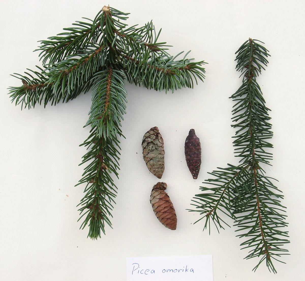 tanne kaufen colorado tanne weihnachtsbaum kaufen my blog. Black Bedroom Furniture Sets. Home Design Ideas
