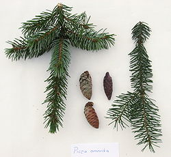 Picea omorika twigs and cones.JPG