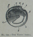Picture Natural History - No 230 - The Venus Shell.png