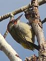 Picus viridis sharpei 040.jpg