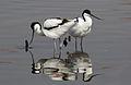 Pied Avocet, Recurvirostra avosetta at Marievale Nature Reserve, Gauteng, South Africa (21008059836).jpg