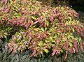 Pieris japonica7.jpg