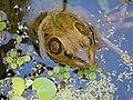 Pig Frog in Corkscrew Wildlife Sanctuary (32503017712).jpg