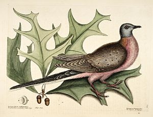 Passenger pigeon - Earliest published illustration of the species (a male), Mark Catesby, 1731
