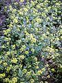 PikiWiki Israel 30948 Sinapis Flowers.jpg