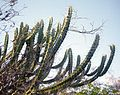 Pilosocereus tuberculatus in habitat Bahia Brasil.jpg