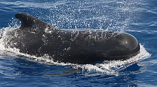 Pilot whale genus of dolphins in the order Cetacea
