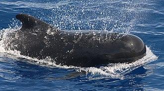 Pilot whale - Image: Pilot whale
