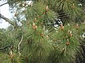 Pine tree from Dharamshala.JPG