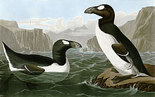 Two summer Great Auks, one swimming and facing right while another stands upon a rock looking left, are surrounded by steep, rocky cliffs.
