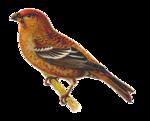 الطيور  150px-Pinicola_enucleator