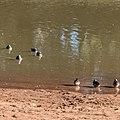Pink-eared duck Burke River Boulia Queensland P1030189.jpg