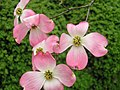 Pink Dogwood around Hungry Mother State Park (7396344426).jpg
