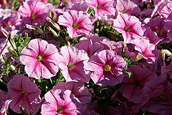 Pink petunias.jpg
