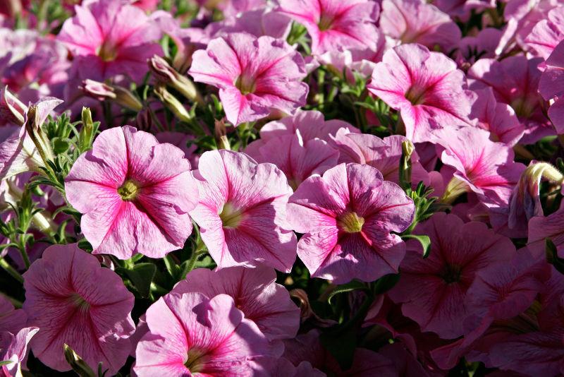Image:Pink petunias.jpg