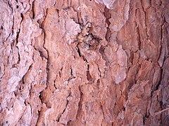 Pinus halepensis bark.jpg