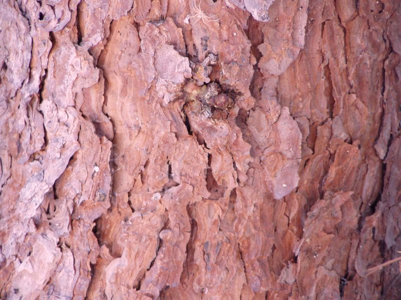 Fichier:Pinus halepensis bark.jpg
