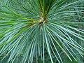 Pinus peuce foliage Bulgaria.jpg