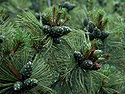 Pinus pumila1.JPG
