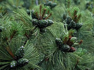 Pinus pumila - Image: Pinus pumila 1
