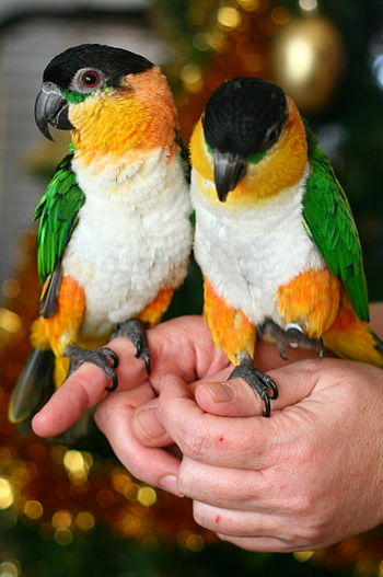 Black-headed Caiques. Pets held on hands.
