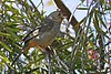 Pipilo crissalis -San Luis Obispo, California, USA-8