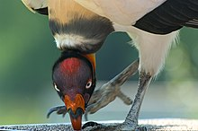 Pivoting king vulture.jpg