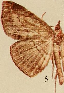 Pl.14-05-Deinypena multilineata=Aburina multilineata (Holland, 1920).JPG
