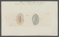 Planaria bituberculata - - Print - Iconographia Zoologica - Special Collections University of Amsterdam - UBAINV0274 105 09 0005.tif