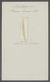 Planaria linearis - - Print - Iconographia Zoologica - Special Collections University of Amsterdam - UBAINV0274 105 03 0002.tif