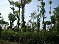 Plantation karnataka.jpg