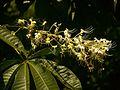 Plants Aesculus assamica P1090997 04.jpg