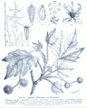 Platanus occidentalis GS344.png