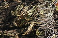 Pleopeltis polypodioides Cumberland Island 3.jpg