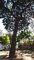 Podocarpus Macrophyllus, Piazza Cavour, Napoli (seconda foto).jpg