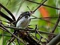 Poecilotriccus capitalis - Black-and-white Tody-Flycatcher (male); Parauapebas, Para, Brazil.jpg