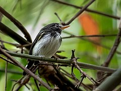 Poecilotriccus capitalis - Black-and-white Tody-Flycatcher (male); Parauapebas, Para, Brazil.jpg