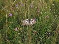 Polínka, motýl III.jpg