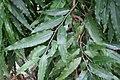 Polyalthia longifolia 6zz.jpg