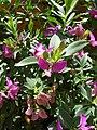 Polygala myrtifolia pfsk 1.JPG