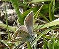 Polyommatus icarus Aschenburg 01.jpg