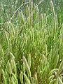 Polypogon monspeliensis Habitus 2010-5-26 DehesaBoyaldePuertollano.jpg