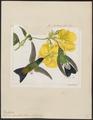 Polytmus cyanifrons - 1820-1860 - Print - Iconographia Zoologica - Special Collections University of Amsterdam - UBA01 IZ19100169.tif