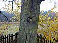 Pomnik przyrody Tworog Wesola grusza.jpg