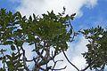Poncirus trifoliata-Parc du Grand Blottereau (5).jpg