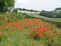 Poppies near Newbrough - geograph.org.uk - 473553.jpg