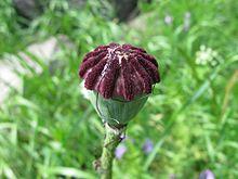 Poppy seed capsule.jpg