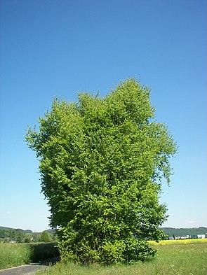 Espe (Populus tremula) bei Marburg.