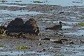 Portugal - Algarve - Montes de Alvor - Whimbrel (25732520122).jpg